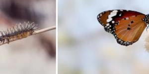Metamorfose van rups tot vlinder